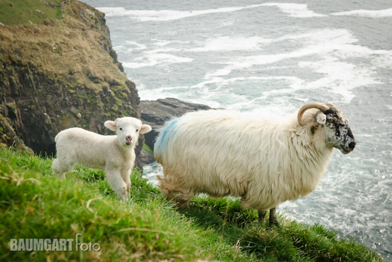 Sheep on the Dingle Peninsula