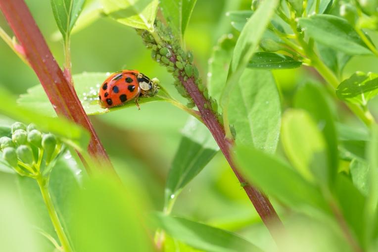 Ladybug_Macro_Jeff_Baumgart-1