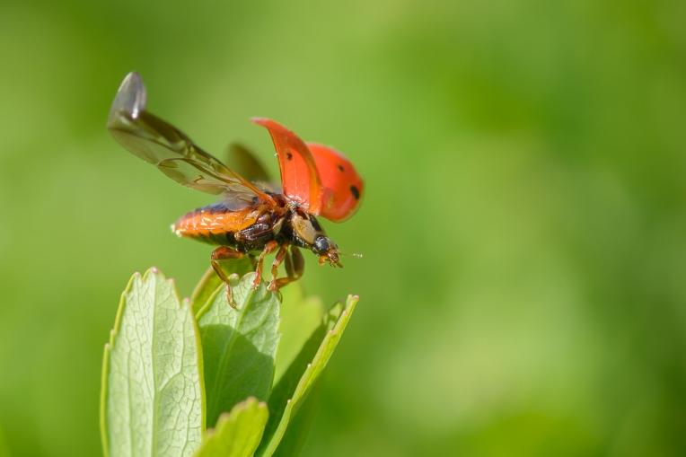 Ladybug_Macro_Jeff_Baumgart-2