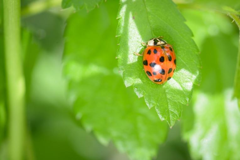 Ladybug_Macro_Jeff_Baumgart-4
