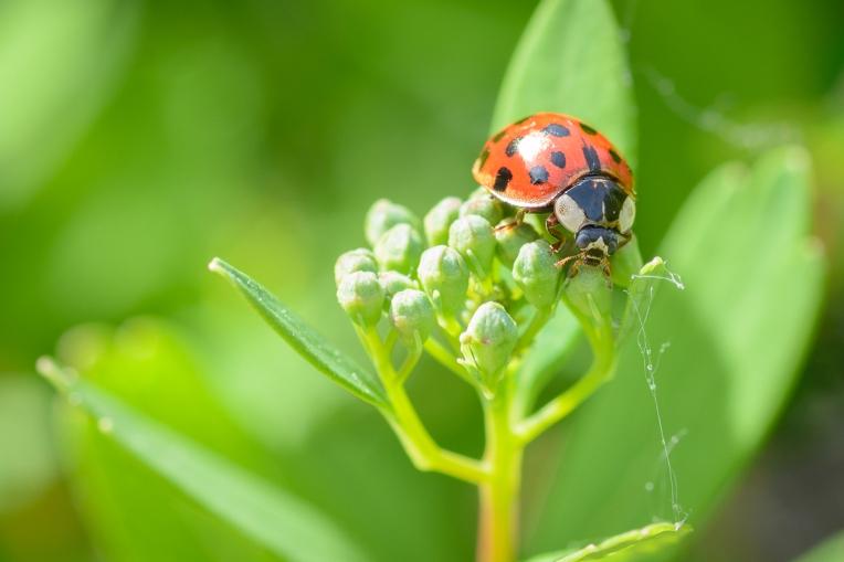 Ladybug_Macro_Jeff_Baumgart-5